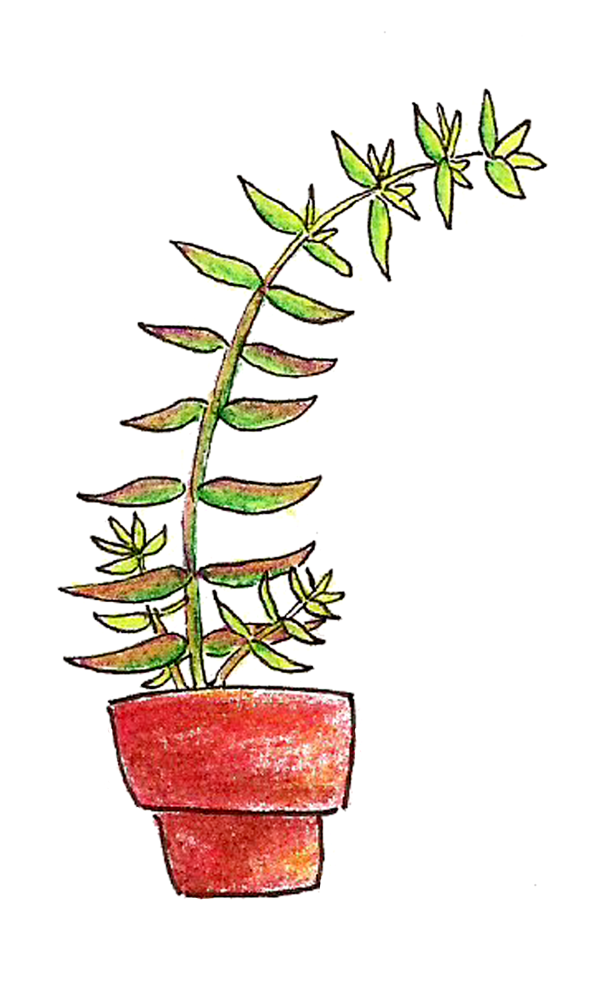Succs in pots - Colored pencil drawing of a tall thin plant that's leaning over to the right. Two new shoots come out of the base of the plant, which is in a red terra cotta pot.