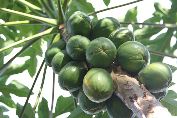 papayas growing in Hawaii
