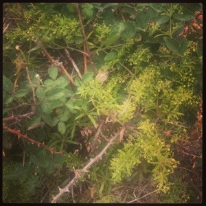 Climbing wild madder (Rubia peregrina)