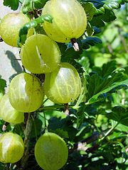 Green Gooseberries