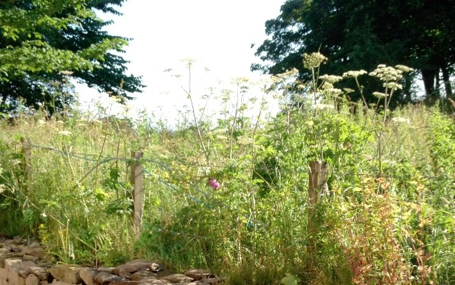 Common Hogweed in Summer
