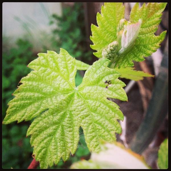 vine-leaf