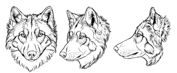 how-to-draw-wolves-drawing-head-26