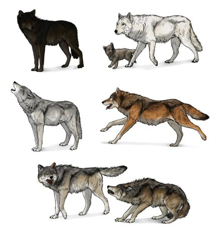 how-to-draw-wolves-wolf-drawing