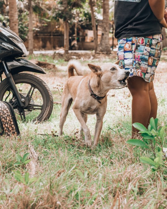 Paws of Lembongan Nusa Ceningan Dog Barking