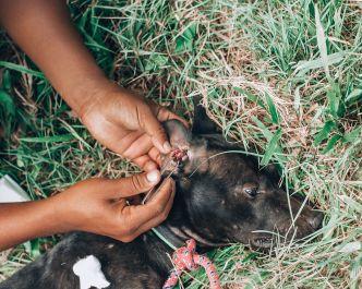 Paws of Lembongan Nusa Ceningan Vet Dog Ticks