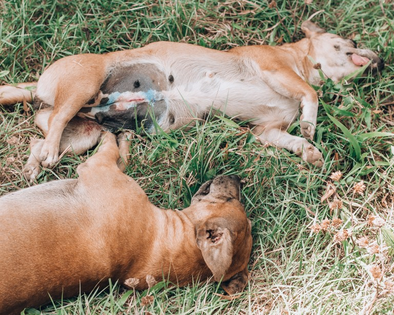 Paws of Lembongan Nusa Ceningan Dog Desex