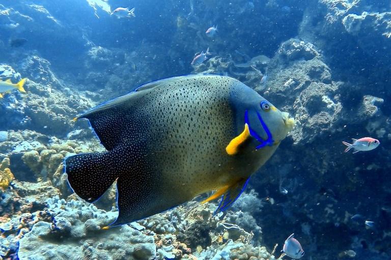 Angelfish Blue Corner Dive Nusa Lembongan Bali