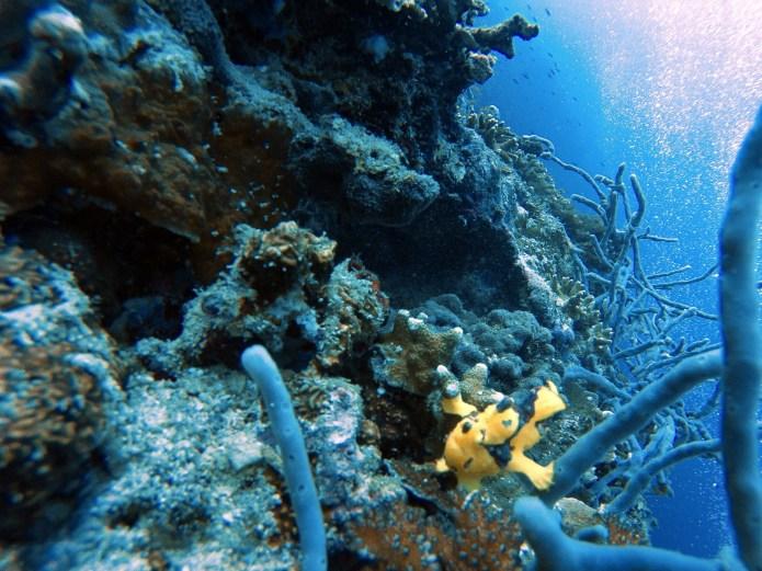 Moalboal Scuba Diving Frogfish Cebu Philippines