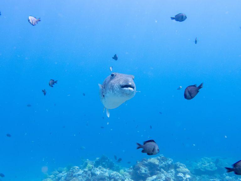 Pufferfish Scuba Dive El Nido Palawan Philippines