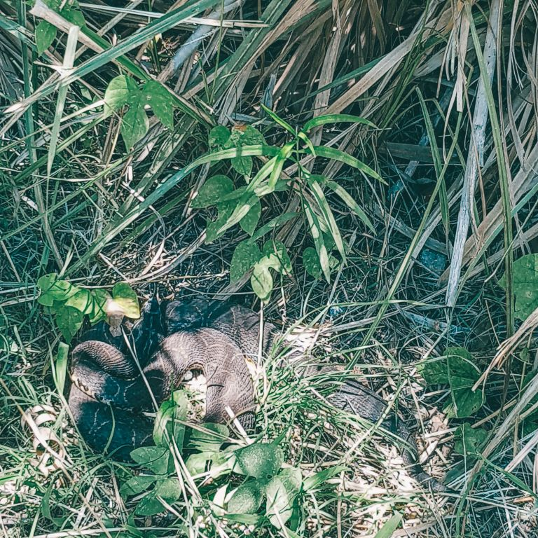 Snake hidden in the grass Reserva Ecologica Buenos Aires Argentina South America