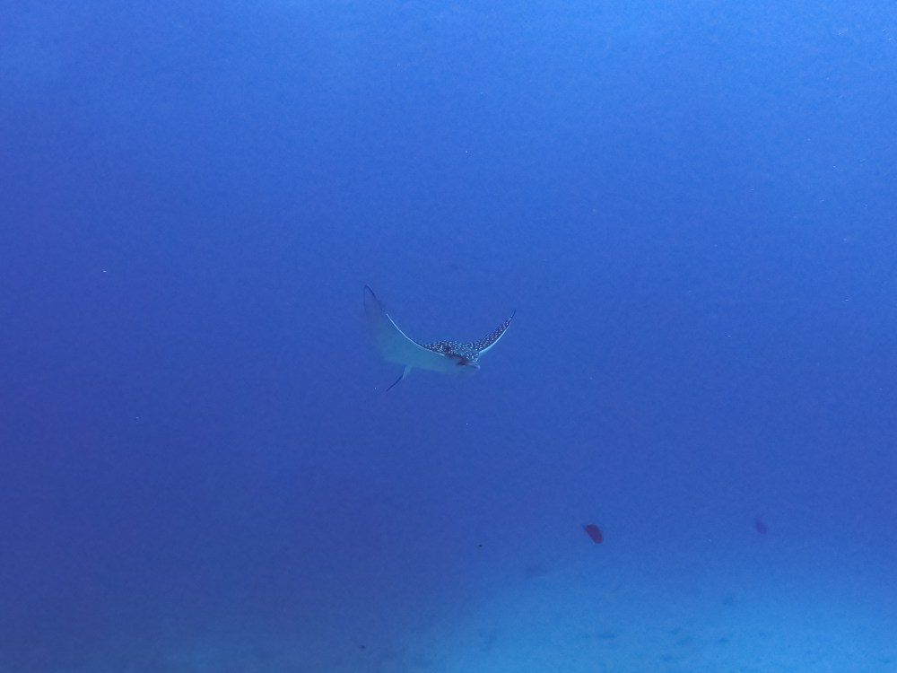 Swimming Eagle Ray Cancun Mexico