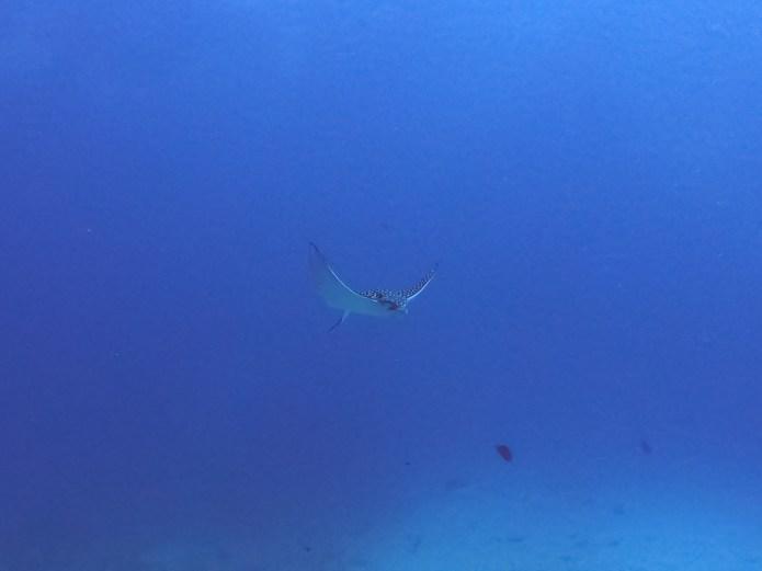 Swimming Eagle Ray Cancun Mexico