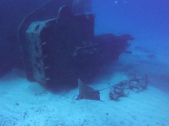 Eagle Ray next to Ship Wreck Cancun Mexico