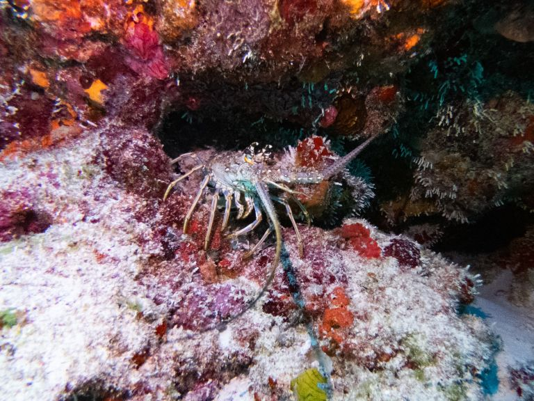 Lobster Scuba Diving Cancun Mexico