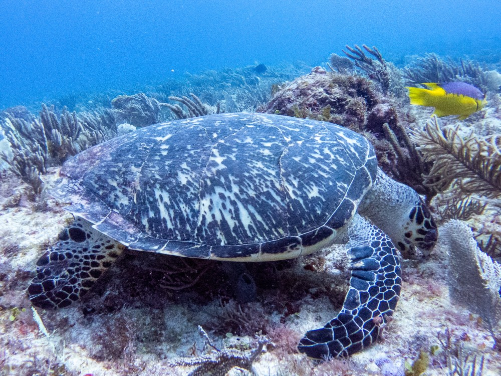 Turtle Scuba Dive Cancun Mexico