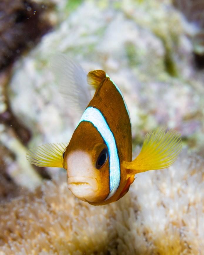 Anemone Fish Great Barrier Reef Queensland Australia