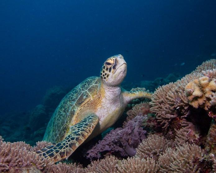 Green Turtle Great Barrier Reef Queensland Australia