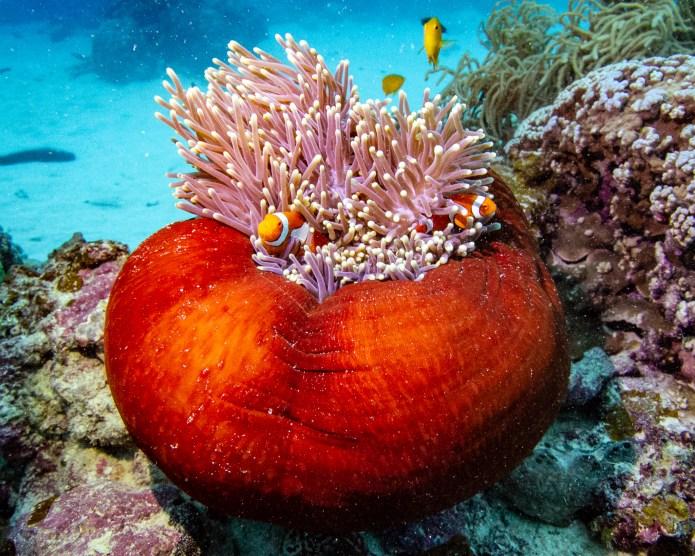 Clownfish Great Barrier Reef Cairns Queensland Australia