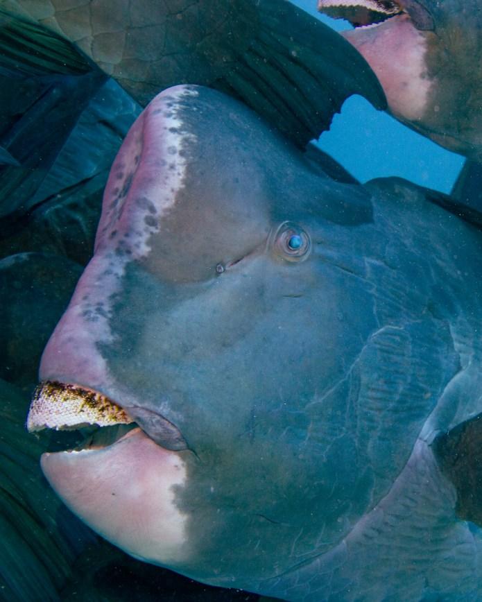 Parrot Fish Great Barrier Reef Cairns Queensland Australia