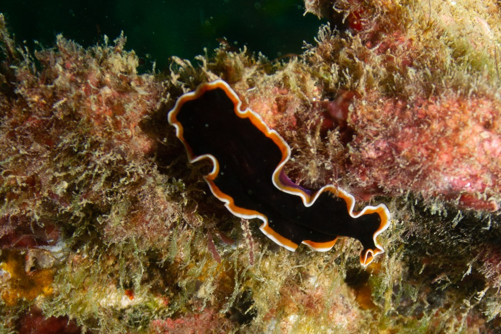 SS Yongala Queensland Australia Black Nudibranch