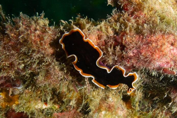 SS Yongala Queensland Australia Black Nudibranch