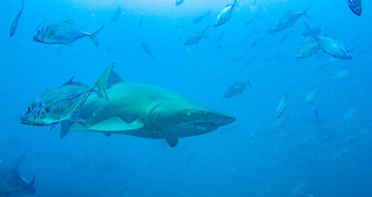 Grey Nurse Shark Swimming Rainbow Beach Queensland Australia