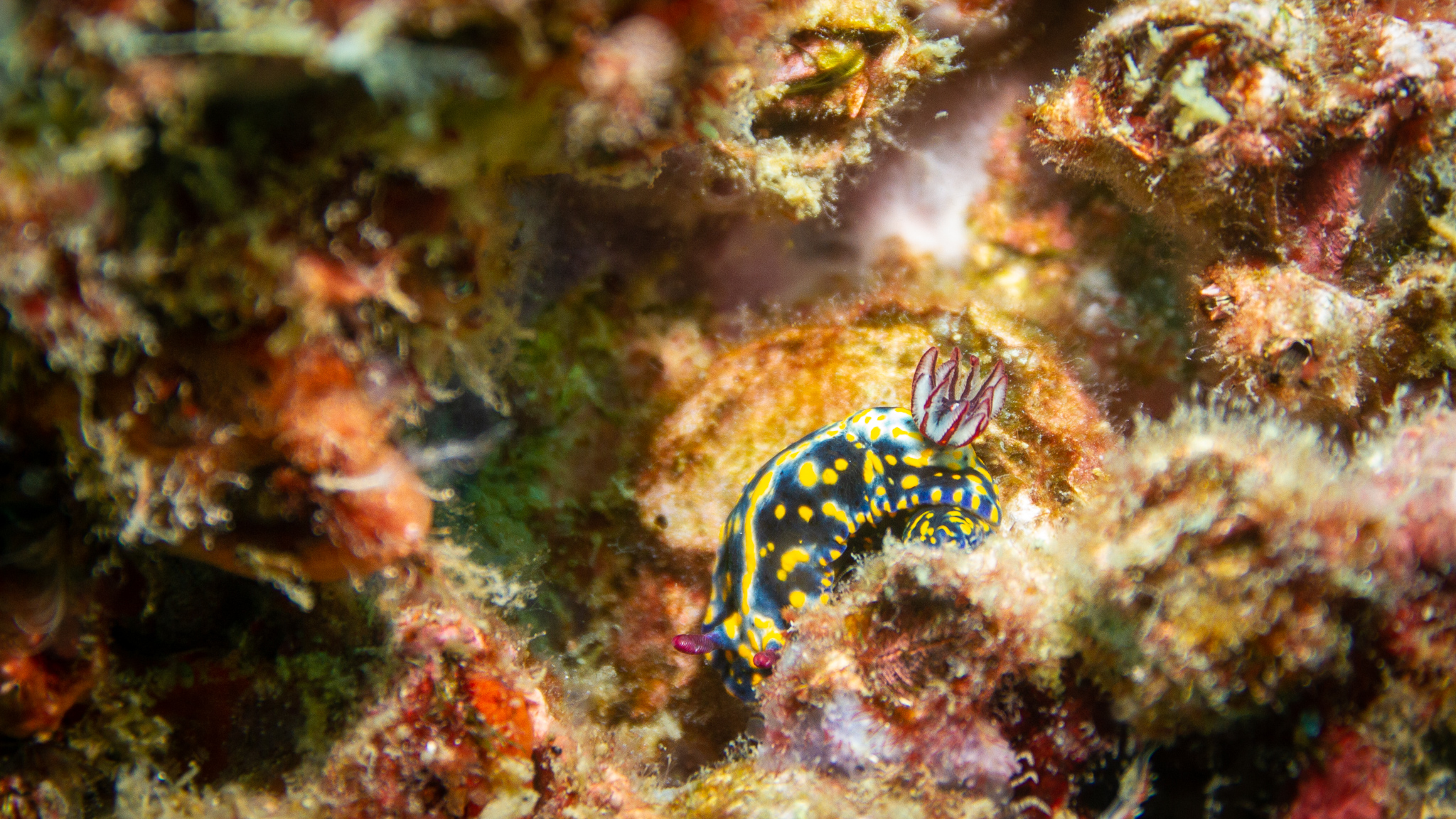 Nudibranch Rainbow Beach Queensland Australia