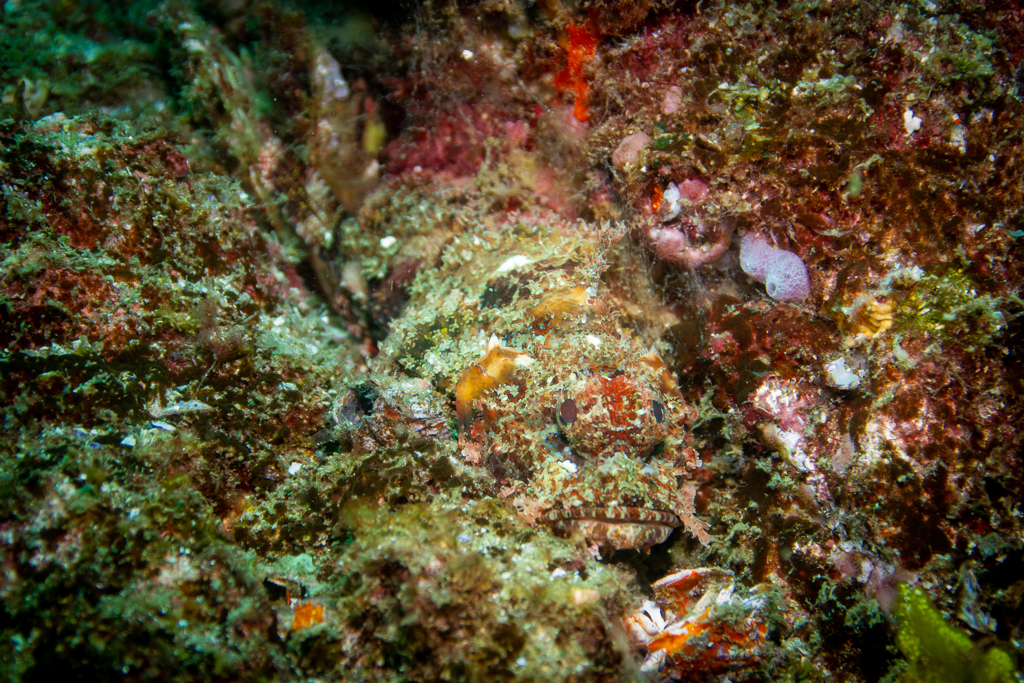 Scorpion Fish Wolf Rock Queensland Australia