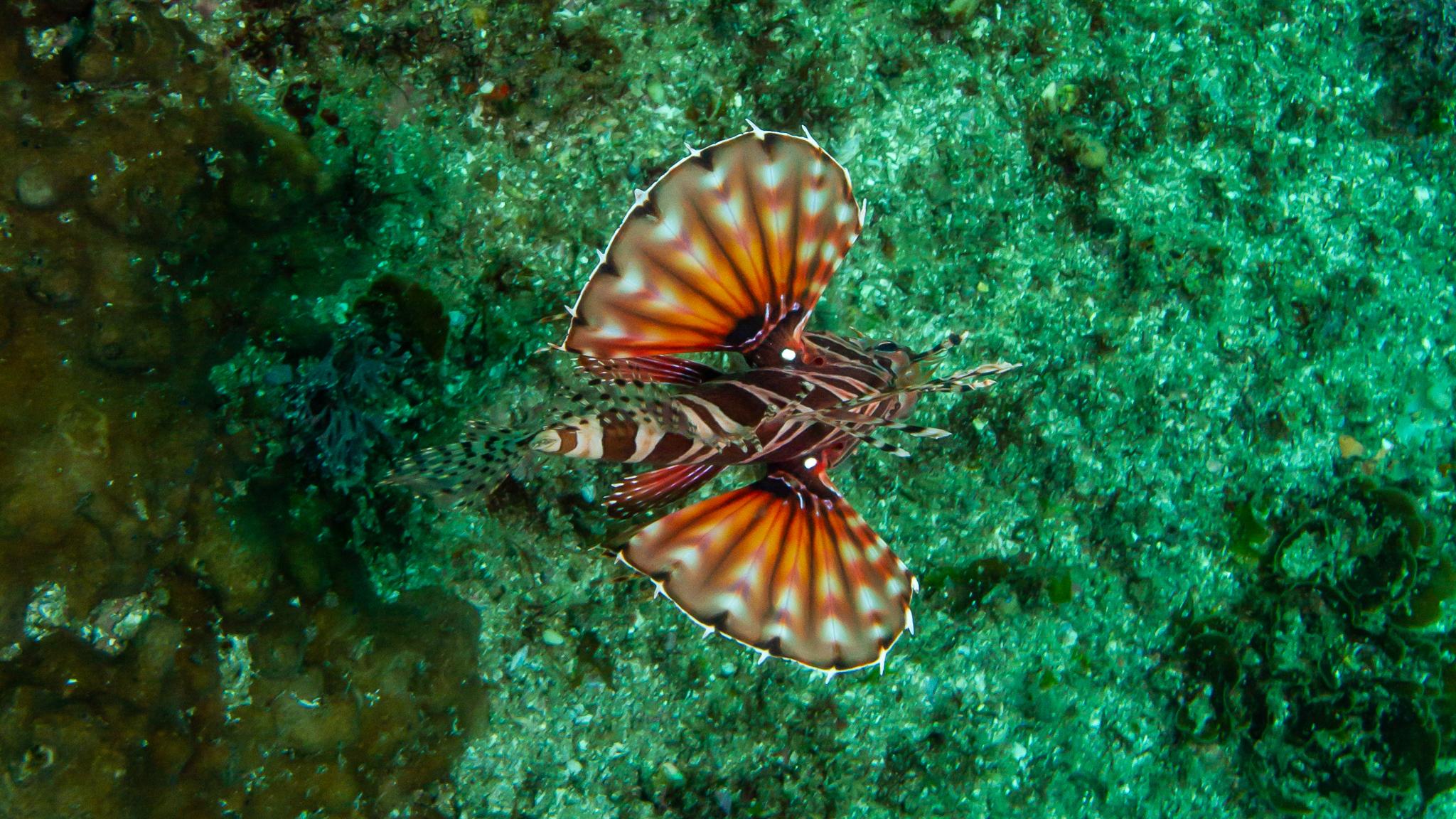 Flying Fish Julian Rocks NSW Australia