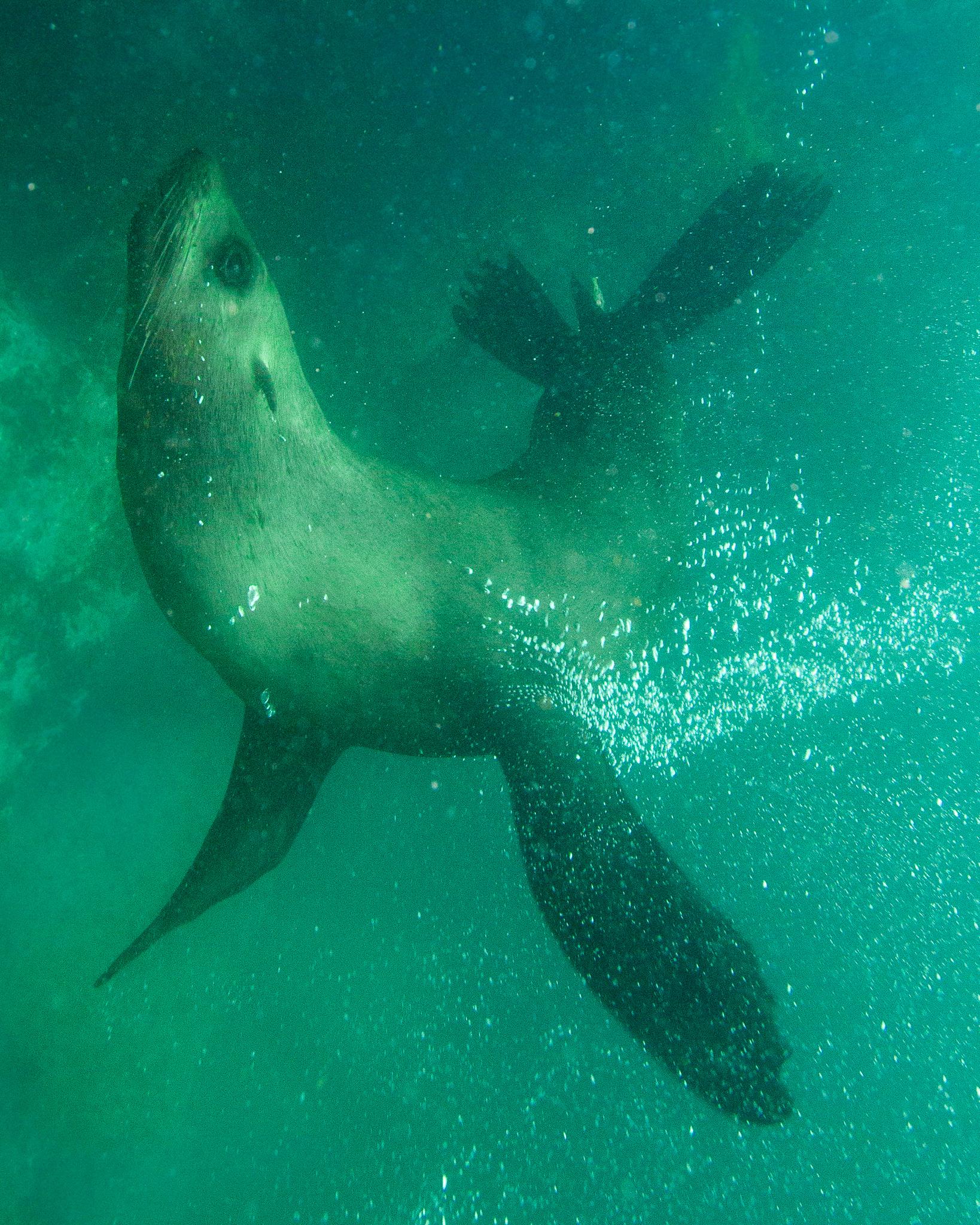 Fur Seals Jervis Bay NSW Australia