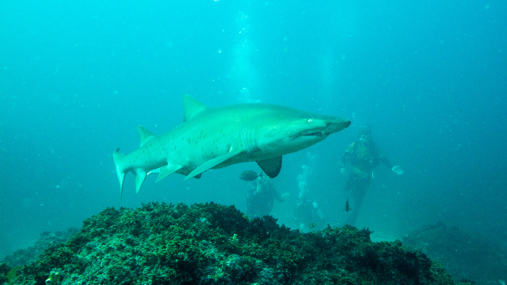 Grey Nurse Shark Julian Rocks NSW Australia