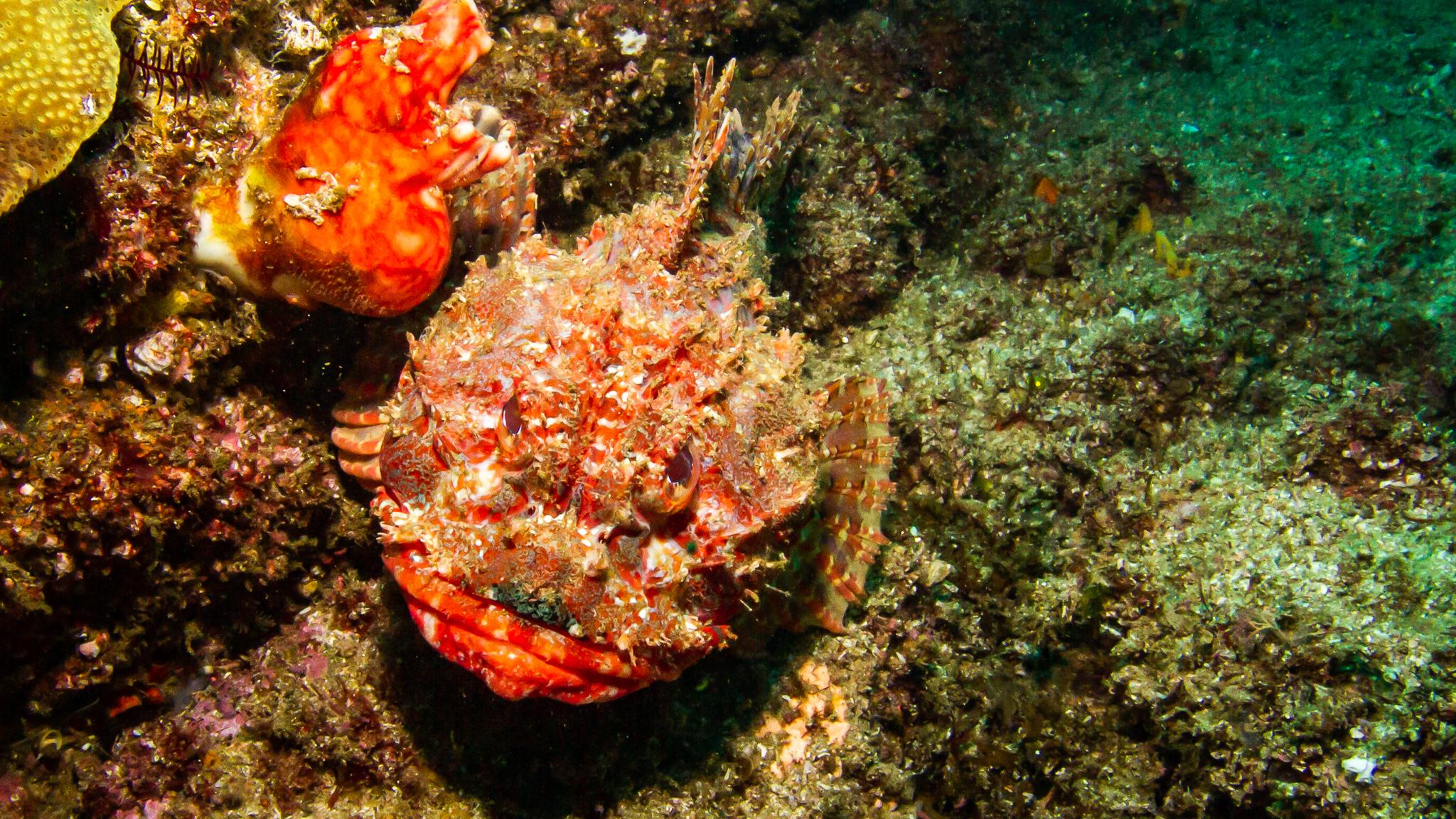 Stone Fish Julian Rocks NSW Australia