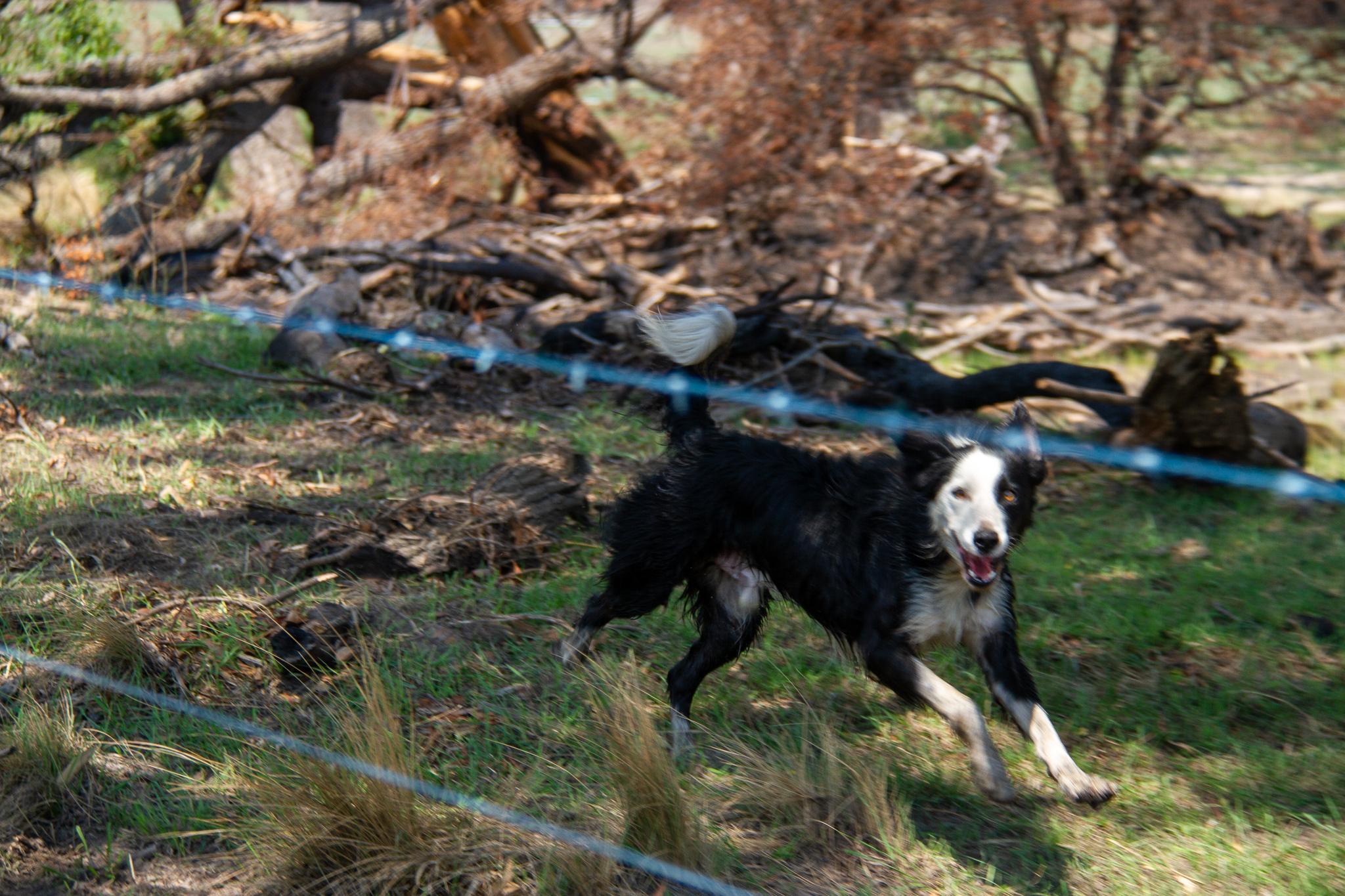 Dog BlazeAid Braidwood New South Wales Australia