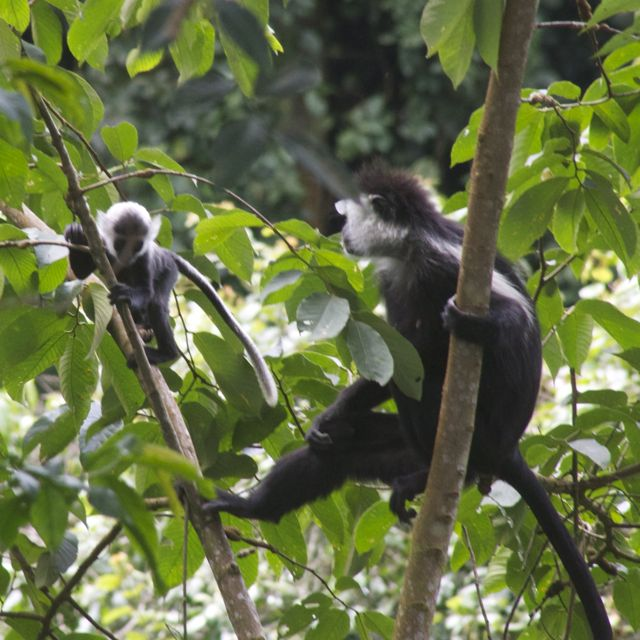 Mother teaching her infant how to jump in Nyungwe Forest, Rwanda