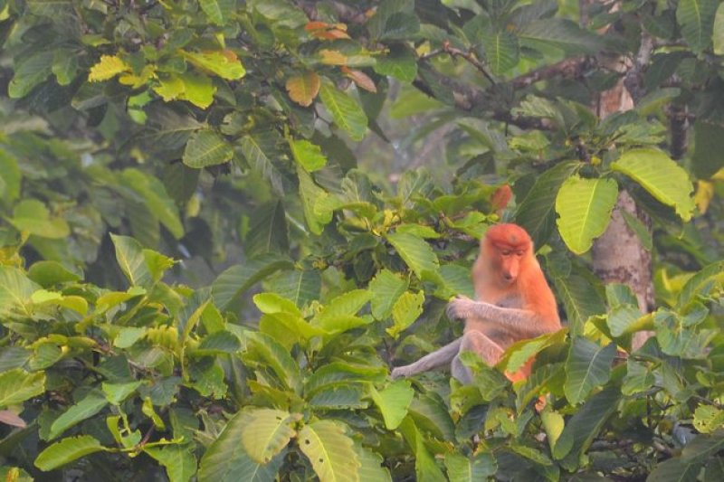 male proboscis monkey attracts females with his long nose.