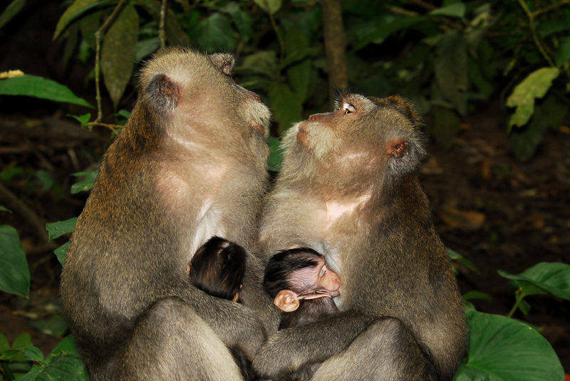 macaques that are almost kissing