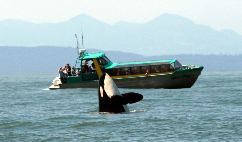 whales are one of the main tourist attractions to the West Coast