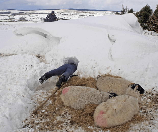 3 sheep lay in the foreground where snow has been cleared, and a man's legs can be seen sticking out of the snowdrift behind them