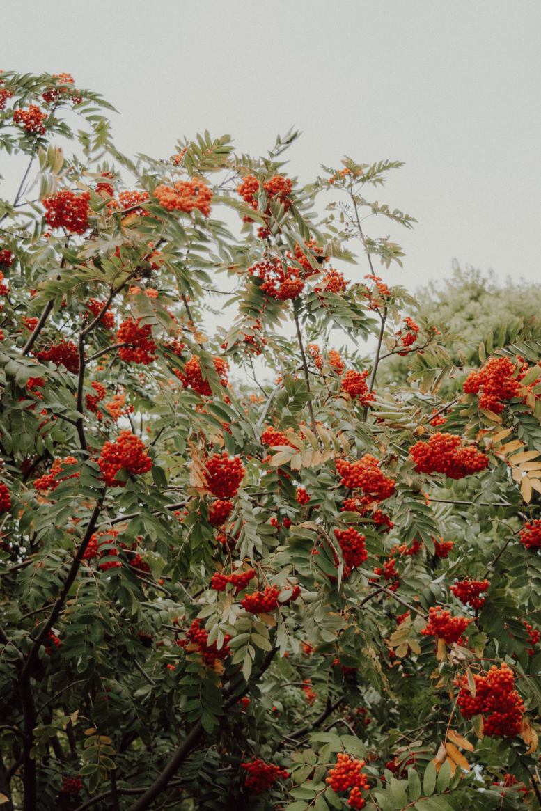 autumn images, mountain ash tree