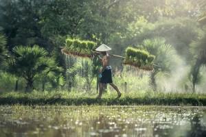 agriculture 1822530 640 300x200 - Doar în Thailanda