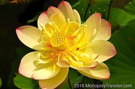 Water lotus in bloom