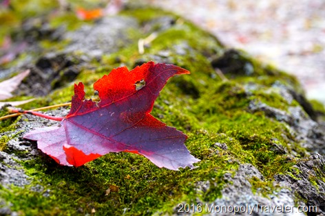 Mossed covered log holding a bright red maple leaf