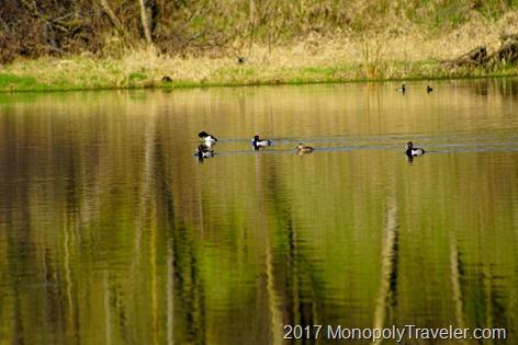 Ringneck Ducks