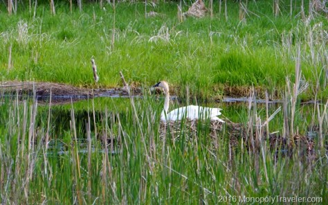 A Trumpeter Swan persistently incubating her eggs in her large nest