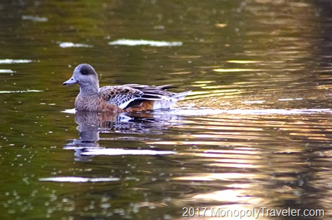 Widgeon swimming along