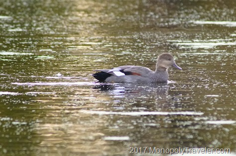 Gadwall floating by