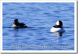 A pair of Bufflehead ducks