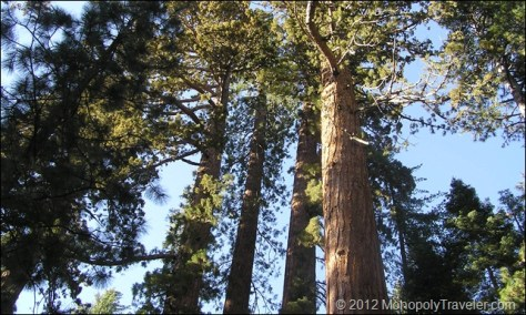 More Giant Sequoias