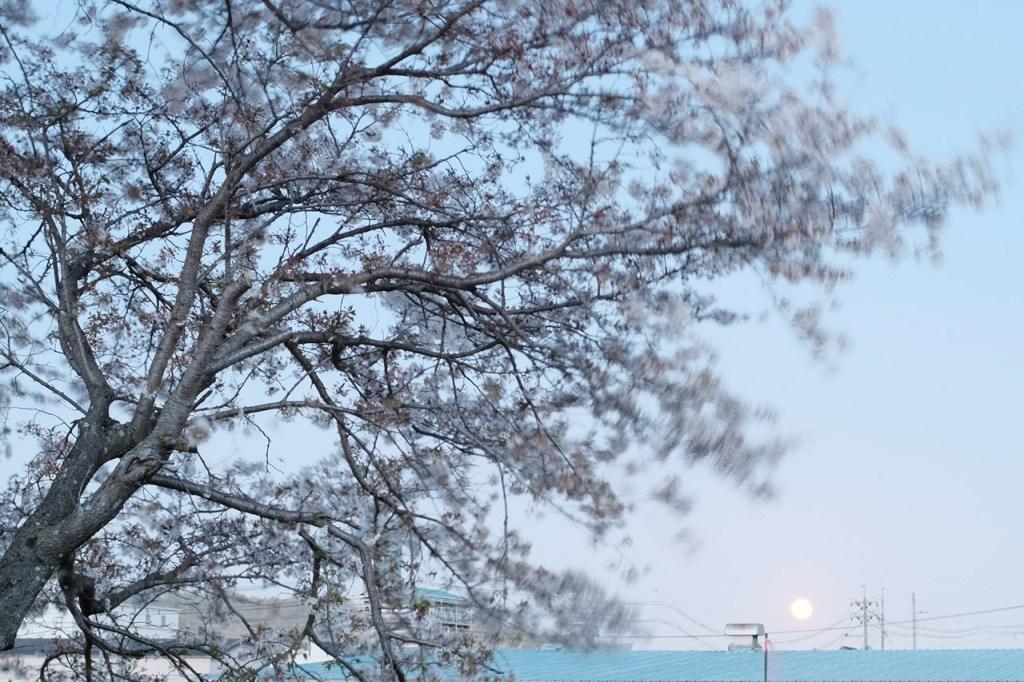 桜, 月夜
